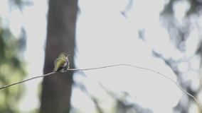 Small hummingbird up against white background at edge of forest