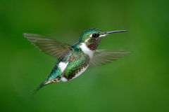Small hummingbird. White-bellied Woodstar, Chaetocercus mulsant, hummingbird with clear green background, bird from Tandayapa, Ecu. Small hummingbird. White Royalty Free Stock Photo