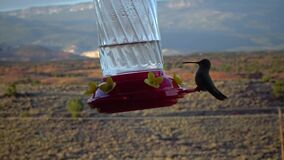 Small hummingbirds drink sweet nectar from an artificial drinking bowl with flowers, Utah, USA