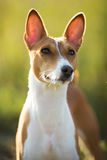 Small hunting dog breed Basenji Stock Photo