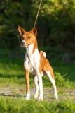 Small hunting dog breed Basenji Stock Images
