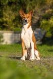 Small hunting dog breed Basenji Royalty Free Stock Images