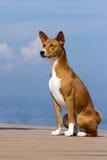 Small hunting dog breed Basenji Stock Photos