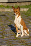 Small hunting dog breed Basenji Stock Image