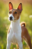 Small hunting dog breed Basenji Royalty Free Stock Photo