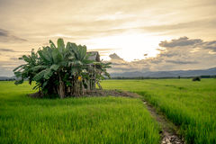 Small hut in rice field Stock Image