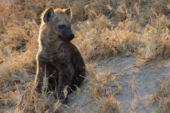 Small hyena pup playing outside its den Stock Image
