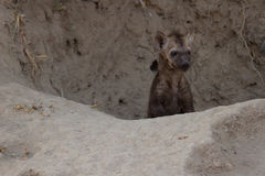 Small hyena pup playing outside its den Stock Photography