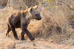 Small hyena pup playing walking outside its den in early morning Royalty Free Stock Images
