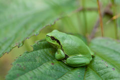 Small Hyla Arborea Stock Photos