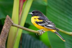 Small icterid blackbird common in eastern North America as a migratory breeding bird. Baltimore Oriole - Icterus galbula is a small icterid blackbird common in royalty free stock photos