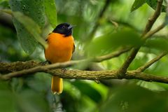 Small icterid blackbird common in eastern North America as a migratory breeding bird. Baltimore Oriole - Icterus galbula is a small icterid blackbird common in royalty free stock photo