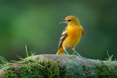 Small icterid blackbird common in eastern North America as a migratory breeding bird. Baltimore Oriole - Icterus galbula is a small icterid blackbird common in royalty free stock image