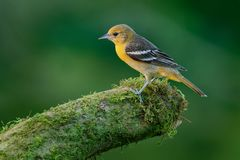 Small icterid blackbird common in eastern North America as a migratory breeding bird. Baltimore Oriole - Icterus galbula is a small icterid blackbird common in royalty free stock images