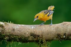 Small icterid blackbird common in eastern North America as a migratory breeding bird. Baltimore Oriole - Icterus galbula is a small icterid blackbird common in stock images