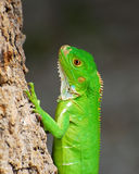 Small Iguana Royalty Free Stock Images