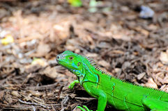 Small Iguana Stock Images