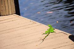 Small iguana on quay by water, South Florida Royalty Free Stock Photo