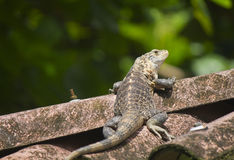 Small iguana on a rooftop. A very quick iguana getting away on the rooftop Royalty Free Stock Photo