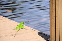 Small iguana by water, South Florida Stock Photos