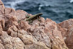 Small iguana, the west coast of Peru Stock Photo