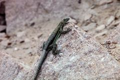 Small iguana, the west coast of Peru Stock Image