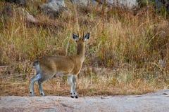 Small impala. Some kind of small antelope or impala Stock Photos