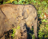 Small indian baby elephant Royalty Free Stock Images