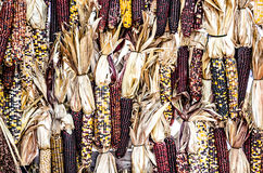 Small Indian Corn Maize Stock Photography