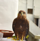 Small Indian Kite bird eating food. And looking at camera Stock Photography