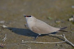 Small Indian Pratincole (Glareola lactea) Royalty Free Stock Images