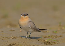 Small Indian Pratincole (Glareola lactea) Stock Photos