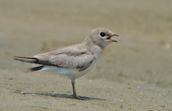 Small Indian Pratincole (Glareola lactea) Stock Image