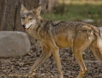 An Indian Wolf stock image