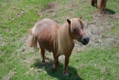 Small individual horse Royalty Free Stock Photography