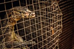 Small indonesian lizard in a cage. Small lizard on sale on the animal market in Yogya  Yogyakarta , Java, Indonesia Stock Images