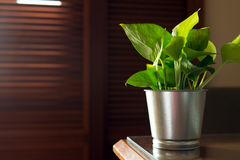 Small indoor plant. Small pot of indoor plant on the table Royalty Free Stock Images