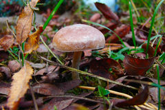 Small inedible fungus. In fallen autumn leaves Royalty Free Stock Image