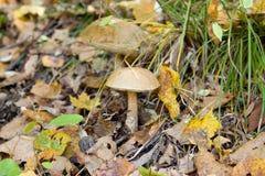 Small inedible mushroom Leccinum carpini (Leccinum griseum) Royalty Free Stock Images
