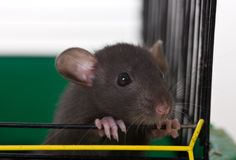 The small infant rat Royalty Free Stock Image