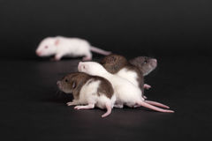 Small infant rats Stock Images