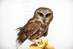 Small injured owl Stock Images