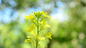 Small insect alights on yellow flower on blurred background stock video footage