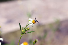 Small insect bees  perch on daisy flower Royalty Free Stock Images