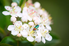 Small insect collecting pollen from flowers of chokeberry Stock Image