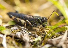 Small insect grasshopper on the yellow and green grass. Royalty Free Stock Photos