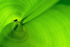 small insect inside the rolled banana leaf, green background Stock Photos