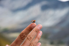A small insect ladybug spread its wings for a flight on a person Stock Image