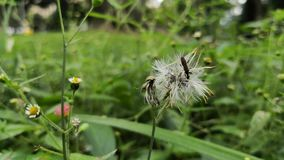Small insect perched on a dandelion. Animal living in a meadow of wild flowers. stock footage