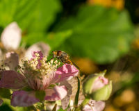 Small insect on pink flower Stock Photos